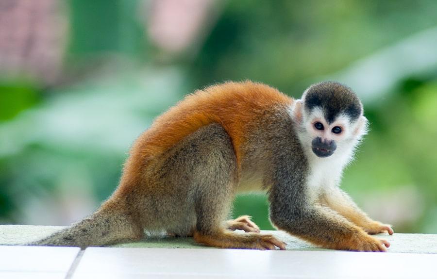 Squirrel Monkey, Costa Rica