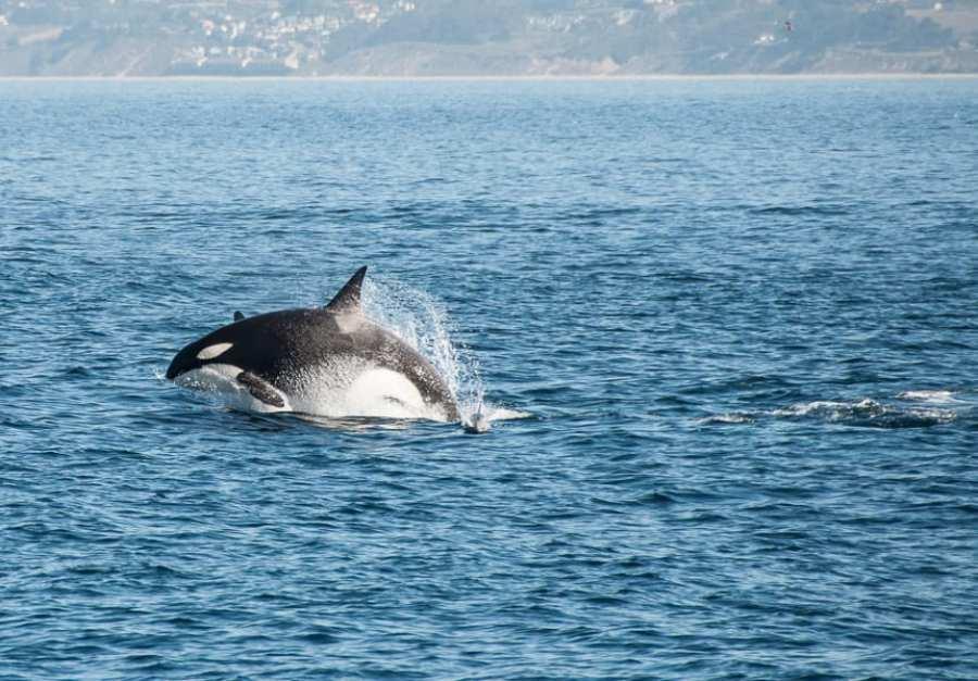 Killer Whale Breaching