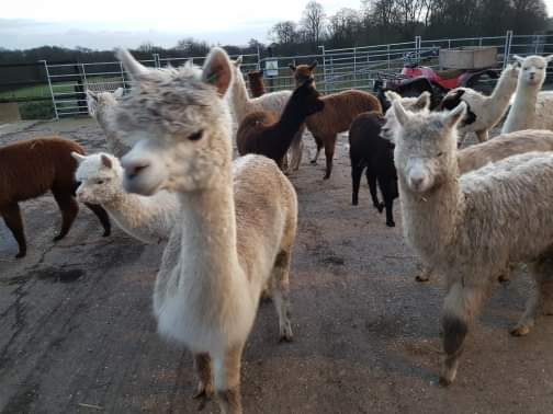 Baby alpacas coming from the Alpaca Nativity