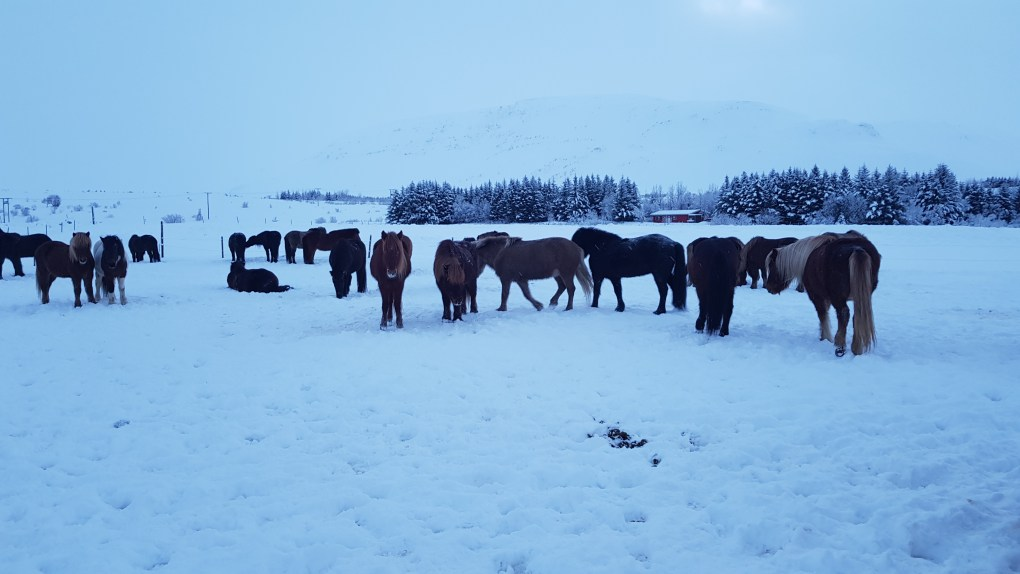 A group of Icelandic horse of various colours standing around in the snow