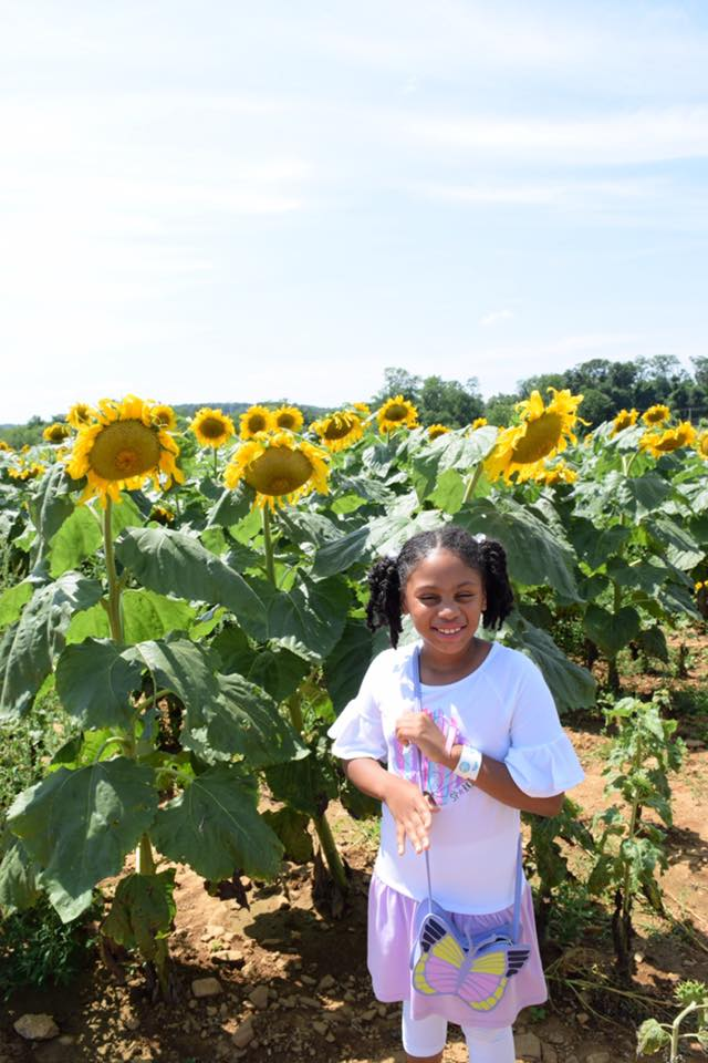 Alstede Farm, sunflower festival