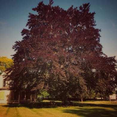 tree, maple, maple tree