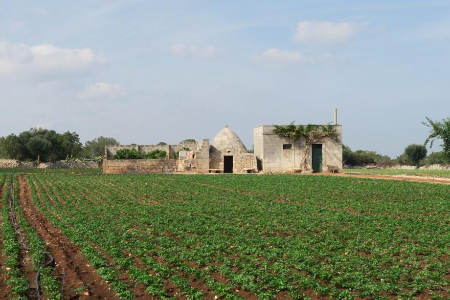 Turnip field in Puglia