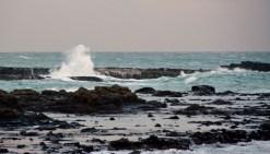2016 04 23 Yellow Eyed Penquins Curio Bay (215)