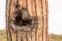 Birds Build Nests in the Holes of Dying Saguaro and Organ Pipe