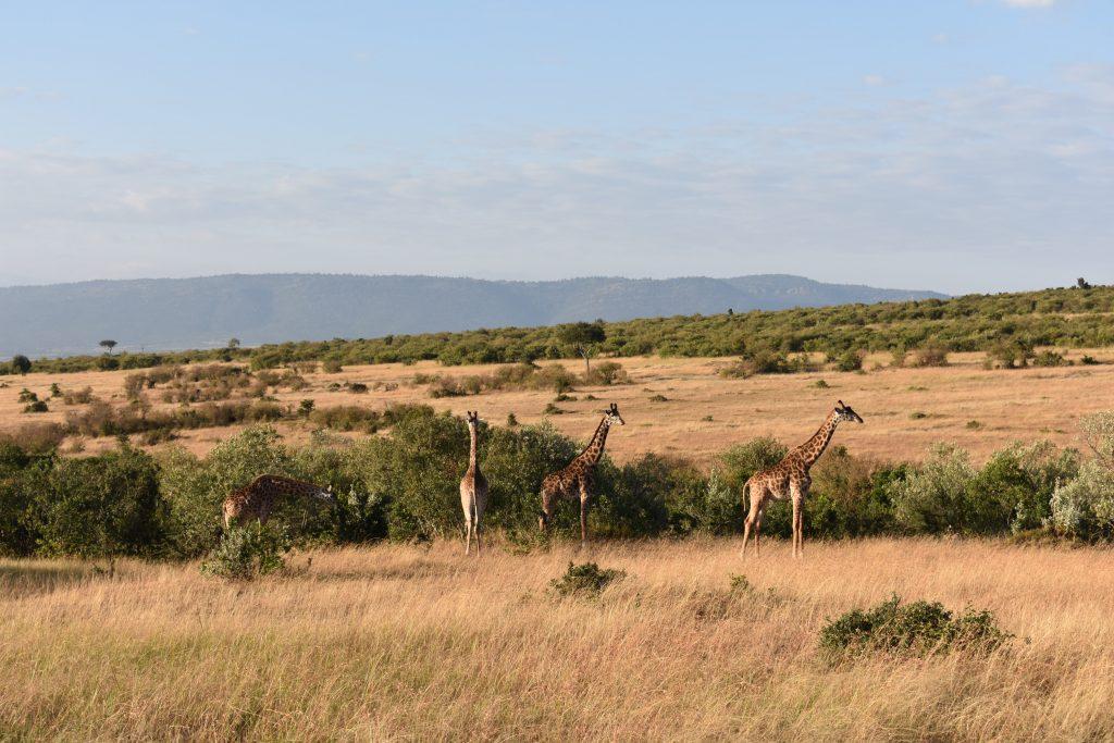 reportage di viaggio safari nel masai mara-giraffe