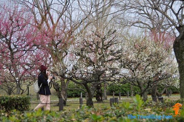 plum flowers in osaka