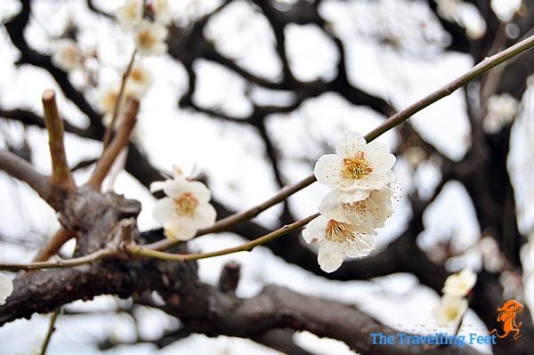 white plum