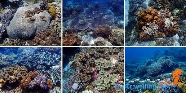 corals at apo island