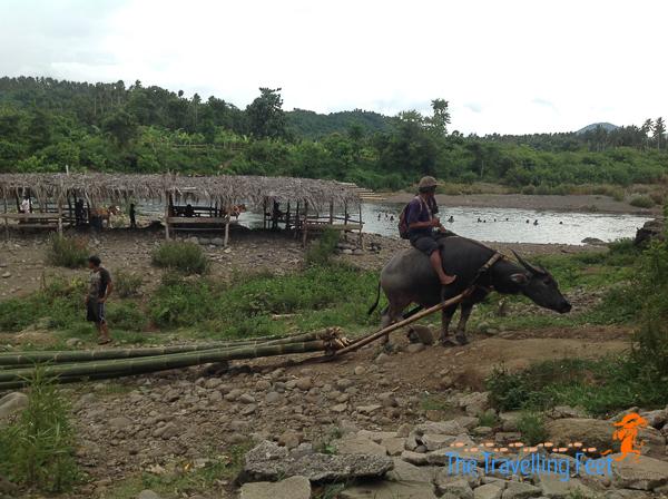 carabao working at magdalena laguna