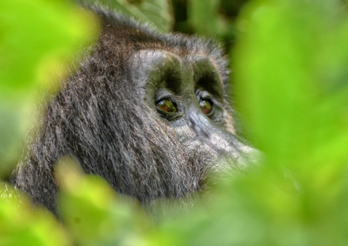 Preparation Guide to Gorilla Trekking in Bwindi National Park