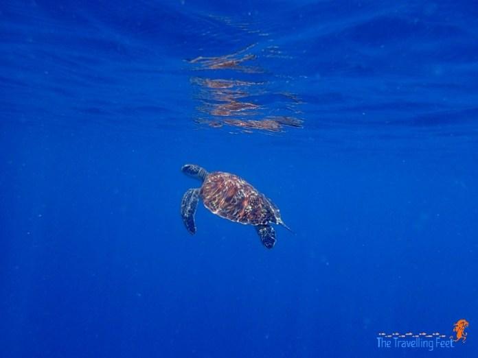 sea turtle at pescador island