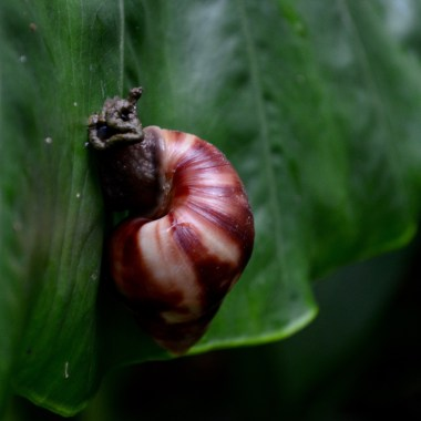 Barbados Welchman Hally Gully giant snail