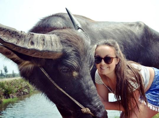 Hoi An Vietnam water buffalo
