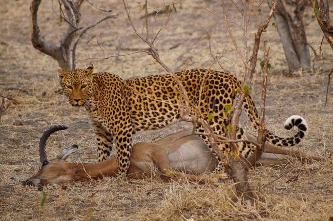 Safari in Kruger National Park - Leopard with a kill