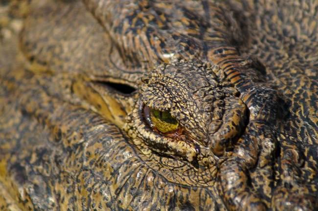 Safari in Kruger National Park - Nile crocodile close up