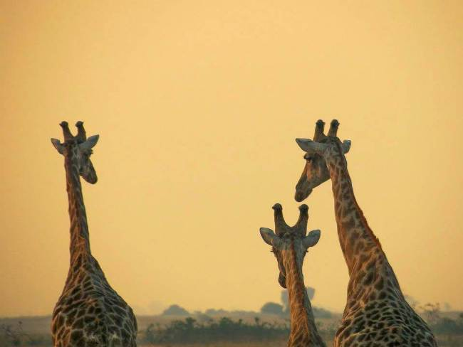 Safari in Kruger National Park - Giraffes and the sunset