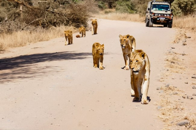 Safari in Kruger National Park - Pride of lions