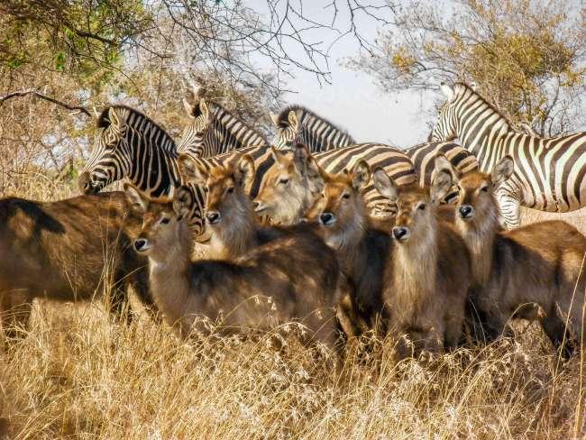 Safari in Kruger National Park - Herd of zebra and waterbuck