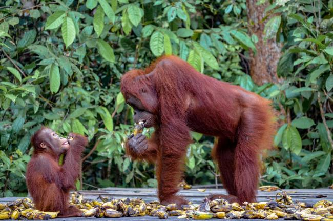 Visiting orangutans in Borneo, Indonesia - mother and baby orangutan at Camp Leakey, Tanjung Puting