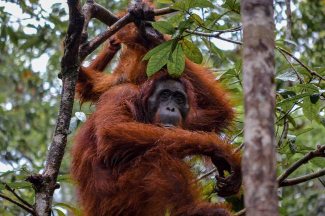 Visiting orangutans in Borneo, Indonesia - orangutan in the trees at Tanjung Puting