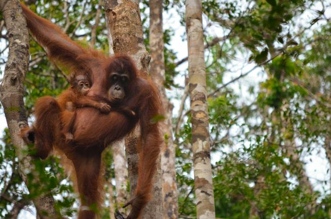 Visiting orangutans in Borneo, Indonesia - mother and youngster in Tanjung Puting