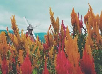 Exploring Cebu's Little Amsterdam Sirao Flower Garden