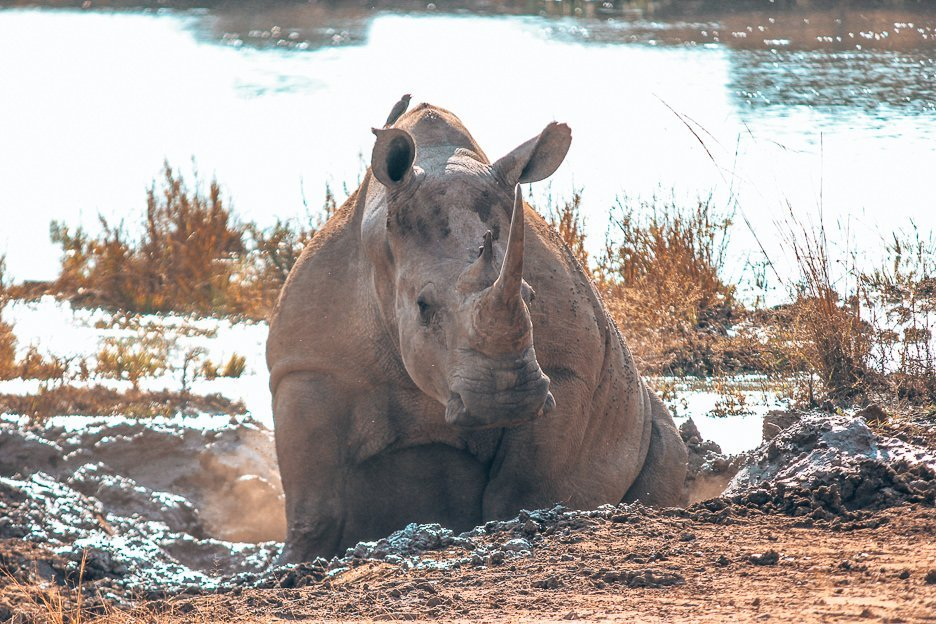 An adult rhino rolling in the mud at Hlane Royal National Park, Swaziland