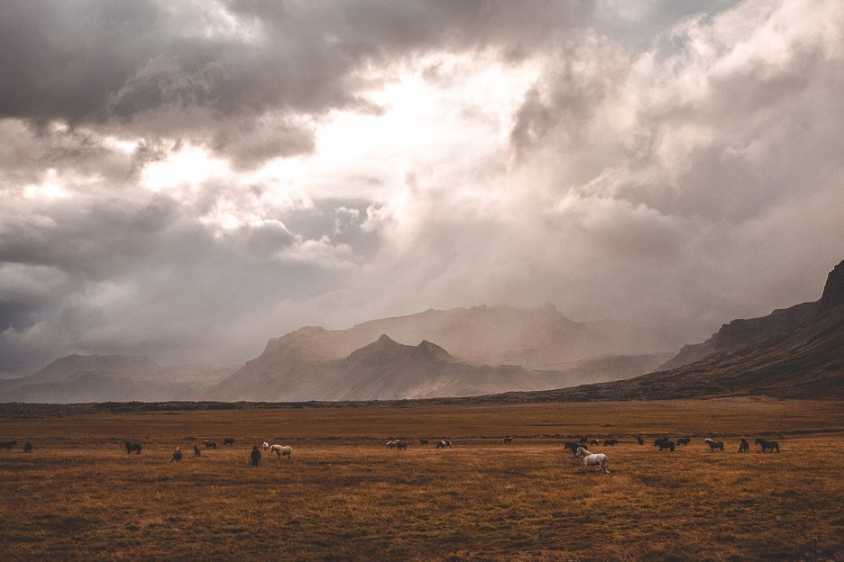 Icelandic horses graze in a field under cloudy skies, Iceland