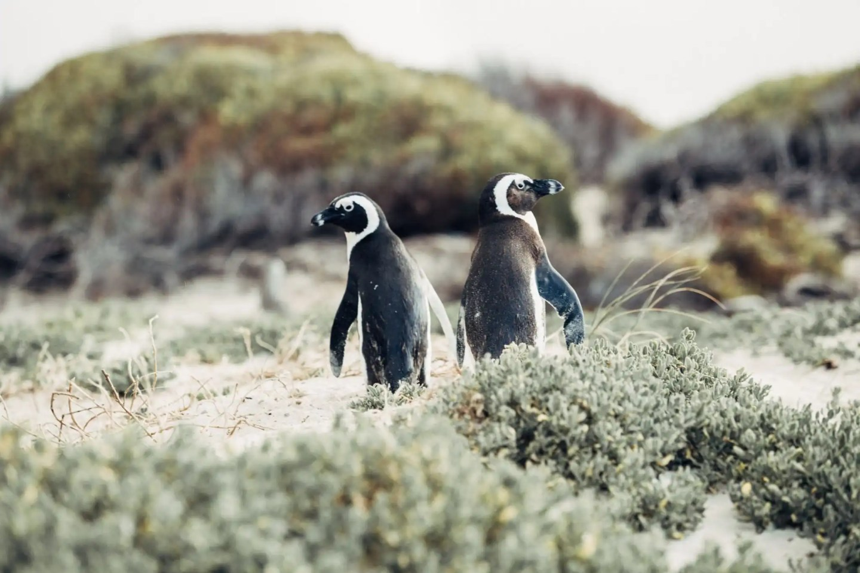 Boulders Beach penguins, Simon's Town