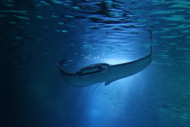 Snorkeling Nusa Penida - Manta Ray header