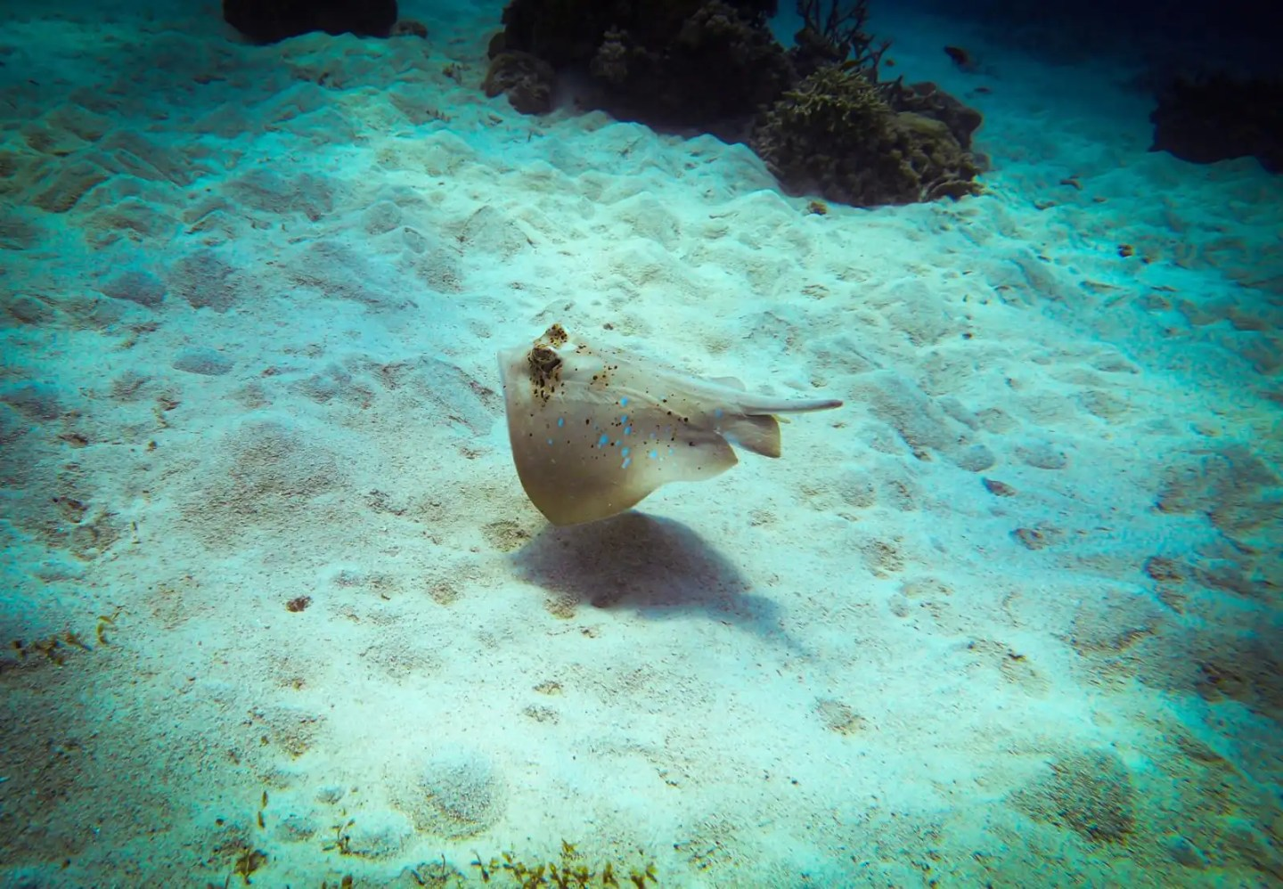Cairns itinerary - Blue spotted ray
