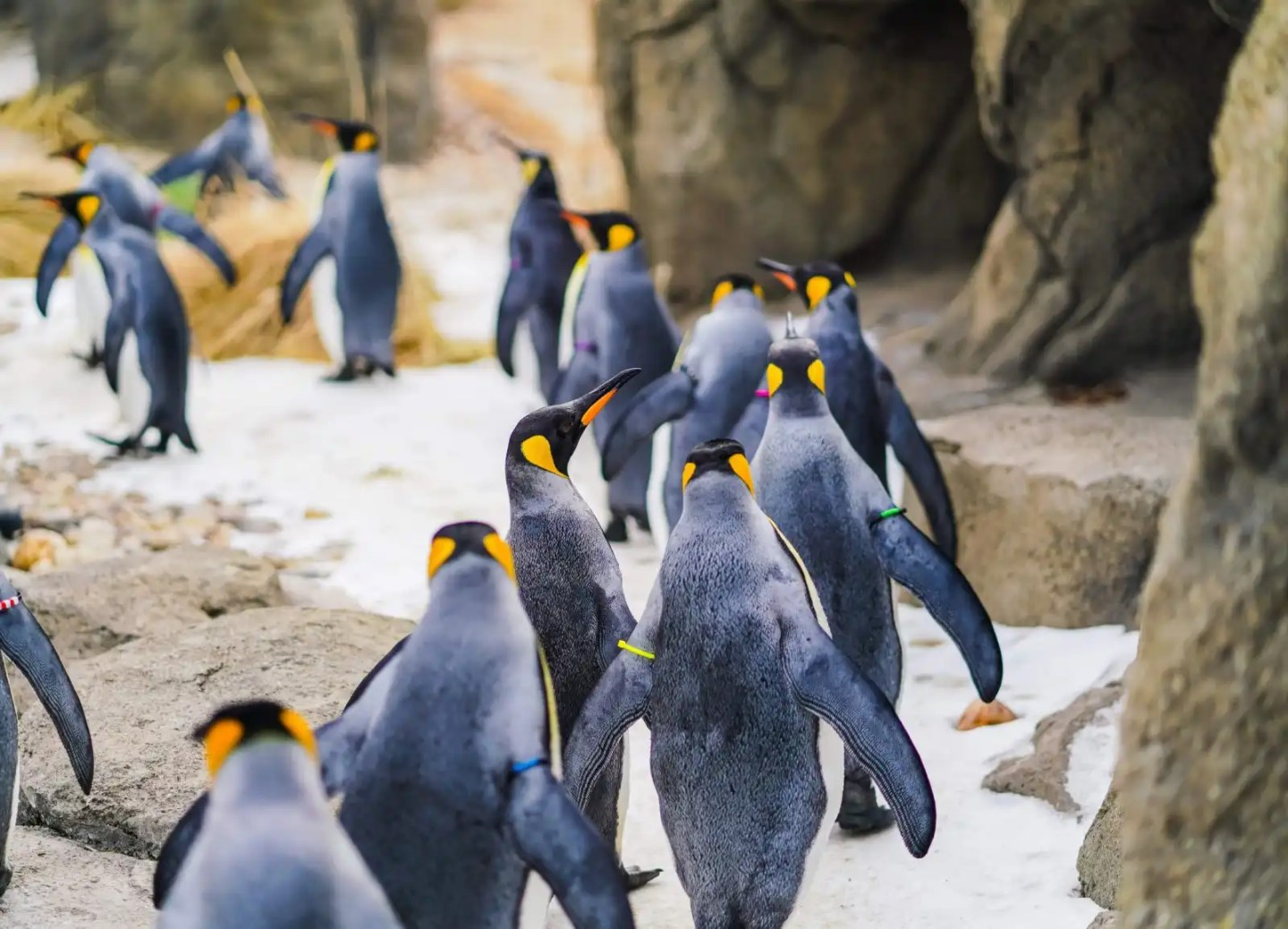 Penguins at Sea Life Kelly Tarlton Auckland