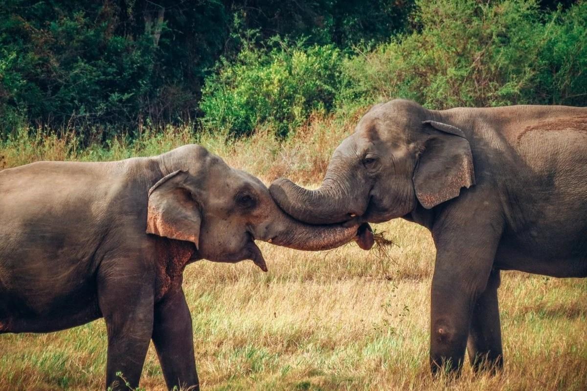 Sri Lanka itinerary - Elephants at Minneriya National Park