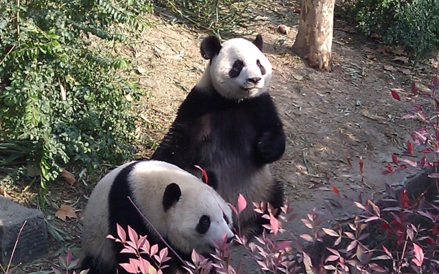 pandas chengdu china we fed as part of the panda volunteer program Chengdu