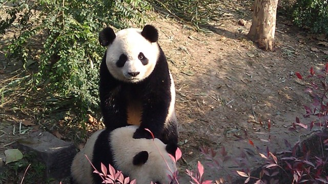 visiting the panda base is a must on any chengdu china itinerary