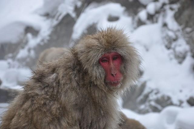 Japanese Snow monkey Nagano
