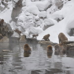 Snow Monkeys in Japan: How to Visit