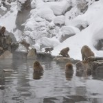 Snow Monkeys in Japan: How to Visit Jigokudani Snow Monkey Park