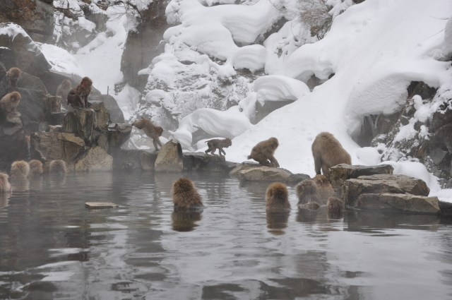 japanese Snow monkeys nagano Japan