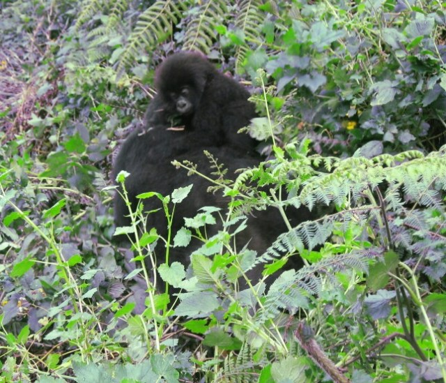 trekking mountain gorillas rwanda