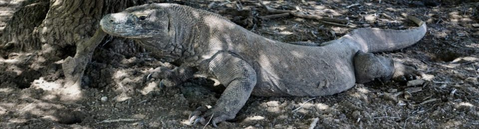 INDONESIA: Rinca Island – Komodo Dragons