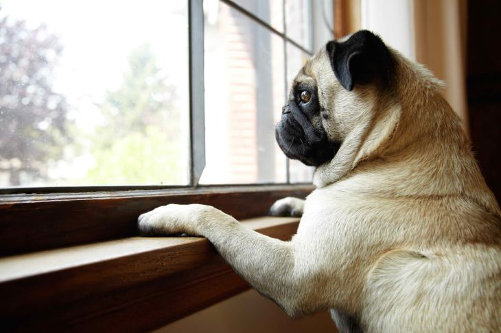pug-window11