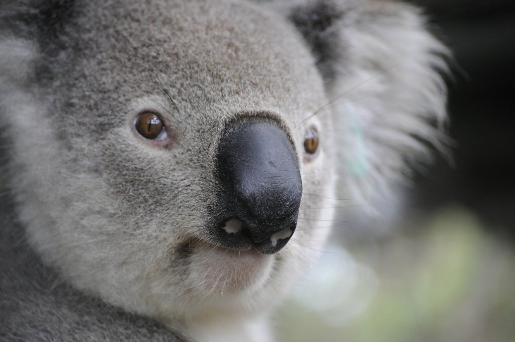 Close-up photo of the face of a soft, fuzzy koala bear in Australia.