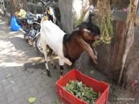 Goatie eating leaves