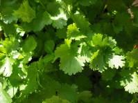 Brian Siewiorek image of cilantro, via Flickr CC license public domain