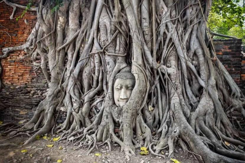 Bodhi Tree Buddha Head