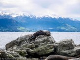 A seal lazing in the sunshine on the rocks at the Fyfe Quay Seal Colony - Driving from Christchurch to Marlborough - The Trusted Traveller