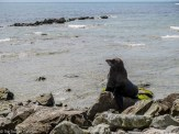 A seal posing for the camera on the rocks at the Fyfe Quay Seal Colony - Driving from Christchurch to Marlborough - The Trusted Traveller