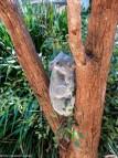 Koala's at Taronga Zoo